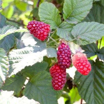 20140727-berry-guide-tayberries-jennifer-latham