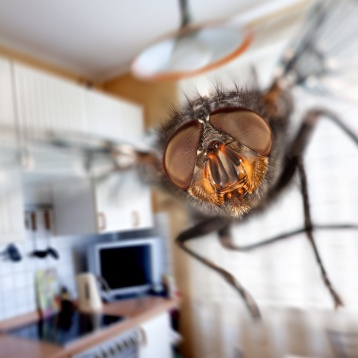 Housefly close-up. Flying in kitchen.